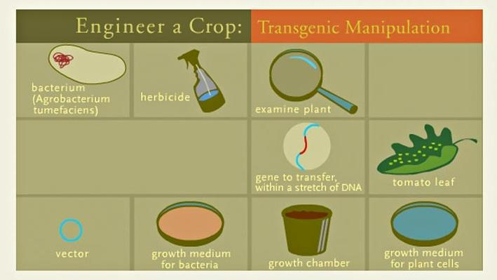 Engineer a Crop: Transgenic Manipulation