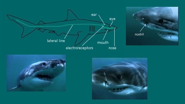Elasmobranch Classification Essay - image 8