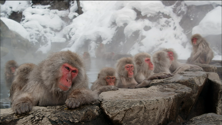 The Social Hierarchy of Snow Monkeys