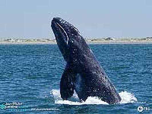 Jean-Michel Cousteau Ocean Adventures   Lesson Plan: Gray Whales on the Move