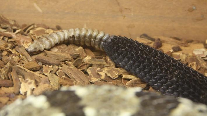 Close up of timber rattlesnake's rattle