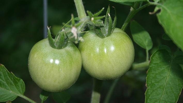 two small, green, unripe tomatoes hanging side-by-side