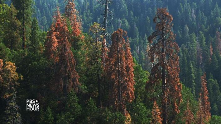 Ancient sequoia trees suffering in California drought - Video