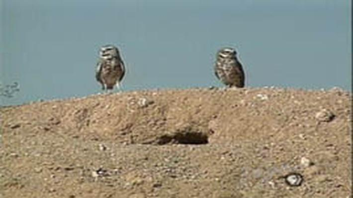 Outdoor Nevada | Burrowing Owl