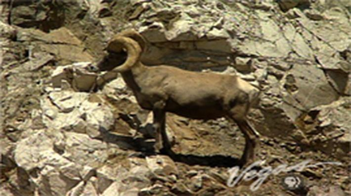 Outdoor Nevada | Bighorn Sheep