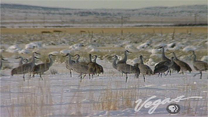 Outdoor Nevada | Sandhill Cranes