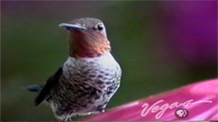 Outdoor Nevada | Hummingbirds