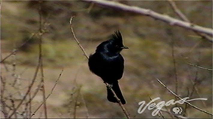 Outdoor Nevada | Phainopepla Bird
