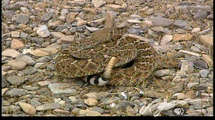 Outdoor Nevada | Rattlesnakes