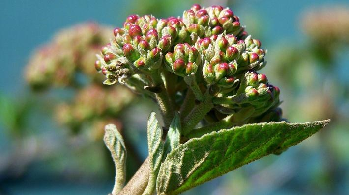 Side view of unopened cluster of viburnum blooms in early spring. Blooms are very pale green with reddish pink at the tips.