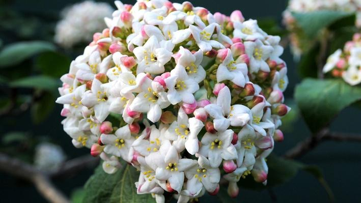 Cluster of pink fragrant viburnum buds with white flowers just beginning to open.