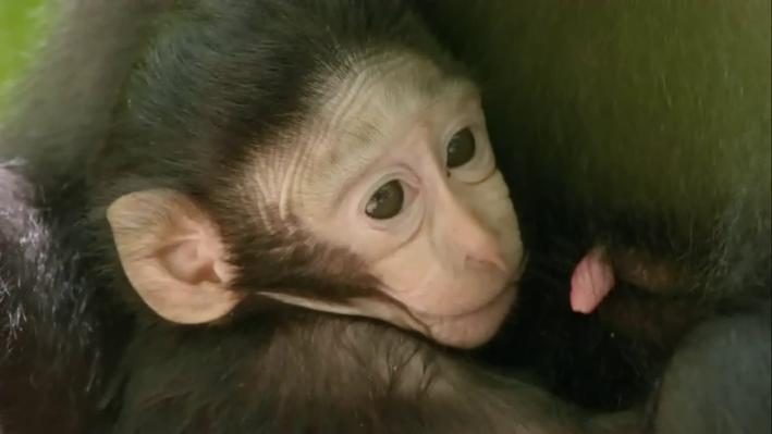 Understanding the Macaque Family | Funkiest Monkies: Chapter 4