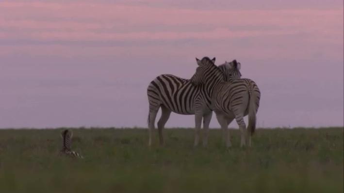 Home for the Zebras | Great Zebra Exodus: Chapter 1