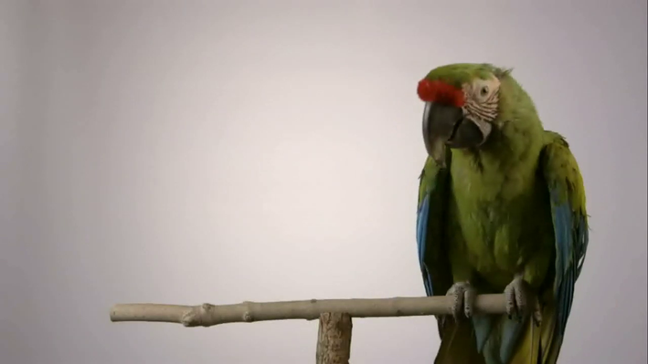 Parrot Captive Breeding | Parrot Confidential: Chapter 4