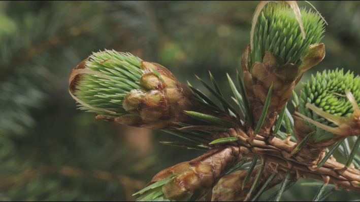 Budding Conifer Timelapses | EARTH A New Wild