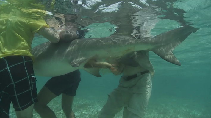 Lemon Shark Research | EARTH A New Wild