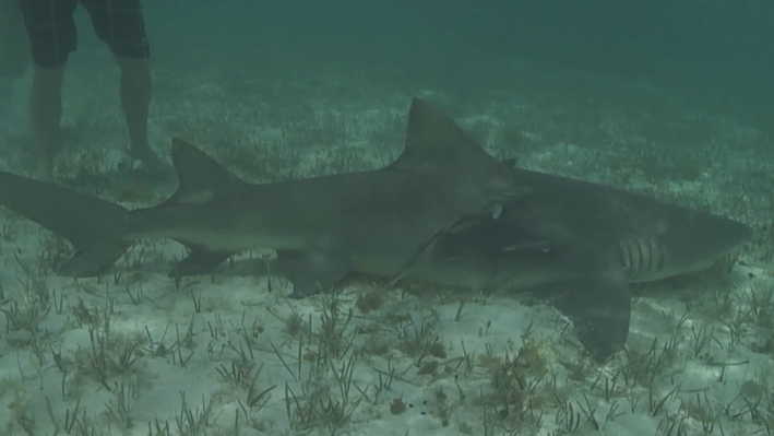 A Lemon Shark Gives Birth | EARTH A New Wild