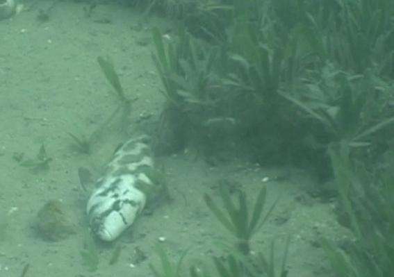Apparent Death in Predatory Cichlids   EARTH A New Wild
