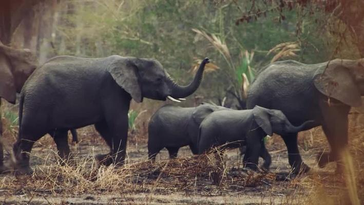 Elephant Behavior | Gorongosa Park: Rebirth of Paradise