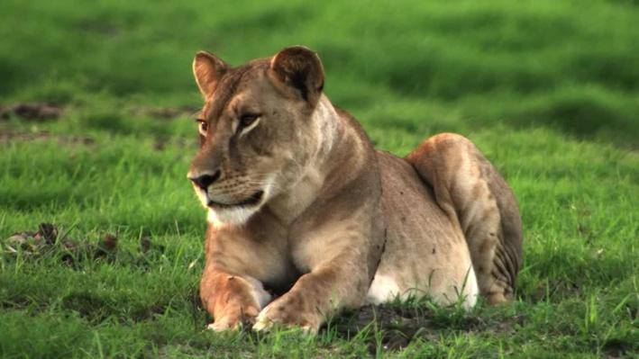 Lion Genetics | Gorongosa Park: Rebirth of Paradise