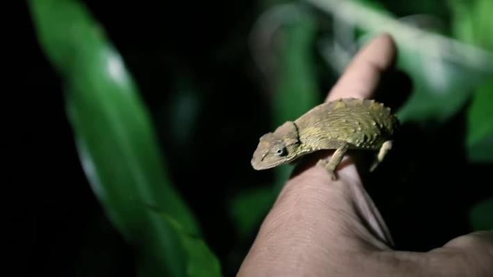 Pygmy Chameleon | Gorongosa Park: Rebirth of Paradise