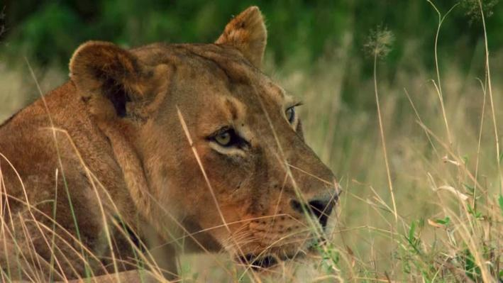 Lion Infanticide | Gorongosa Park: Rebirth of Paradise