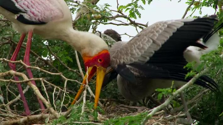 Yellow Billed Storks | Gorongosa Park: Rebirth of Paradise