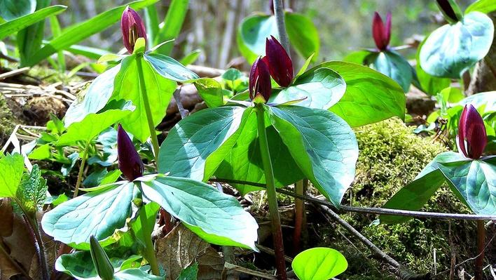 A cluster of wake robin plants on forest floor. Plants with three broad leaves, three petals, and three sepals.