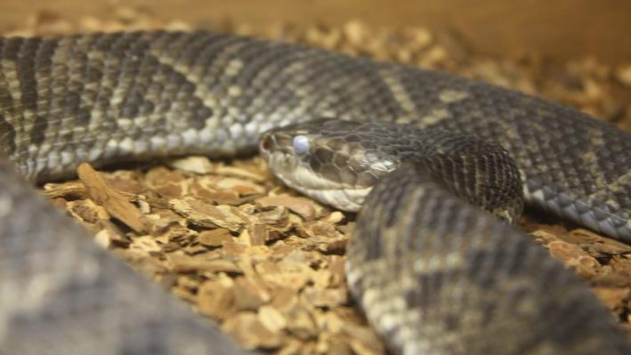 close-up water moccassin's head with muted gray eye