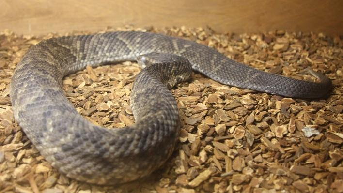 Water-moccasin slightly coiled laying on wood chips
