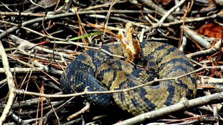 Water moccasin with mouth open and coiled sitting in twigs on ground