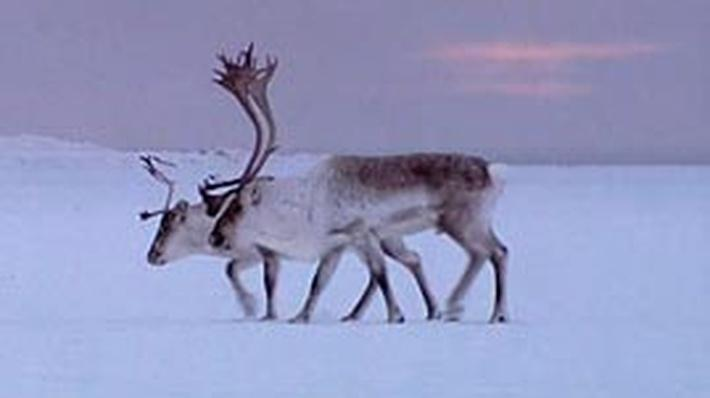Global Warming Threatens Caribou