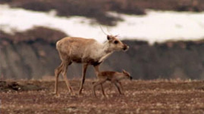 Gwich'in Tribe Protect Caribou and Culture