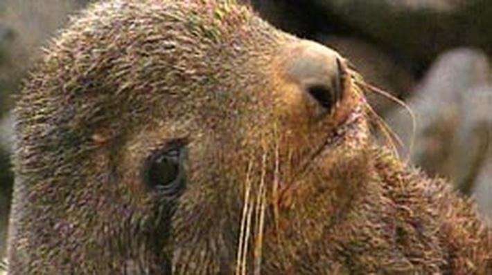 An Alaska Native Community Helps Seals