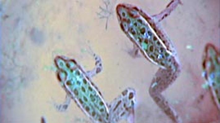 Possible Causes of Malformed Frogs