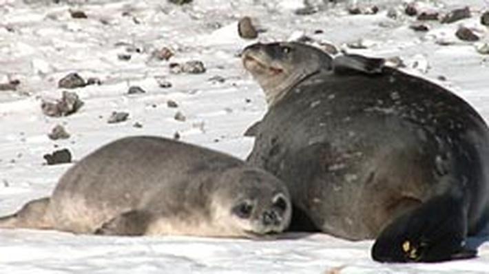 Studying Antarctic Seals