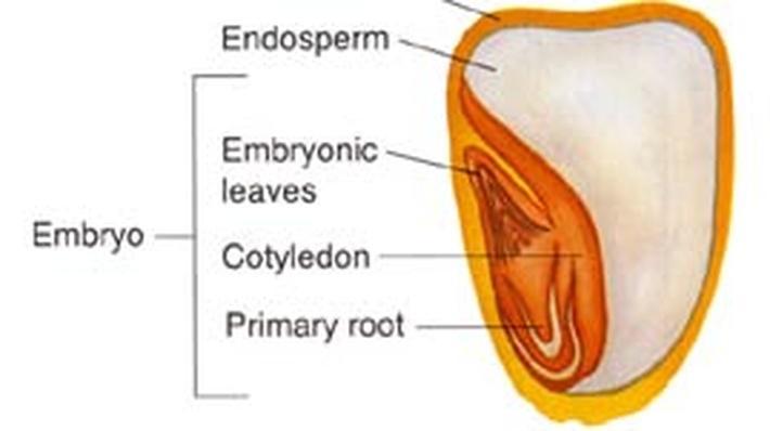 Inside a Seed