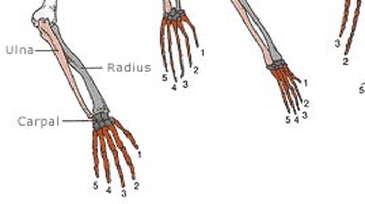 Tetrapod Limbs