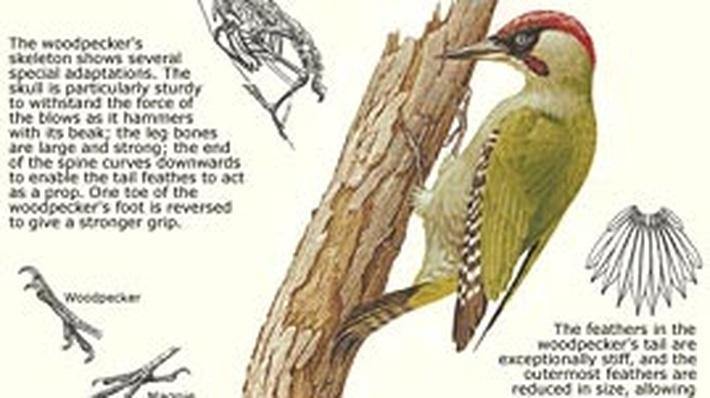 How the Woodpecker Avoids a Headache