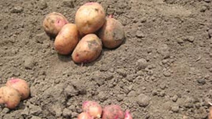 Saving the World's Potatoes