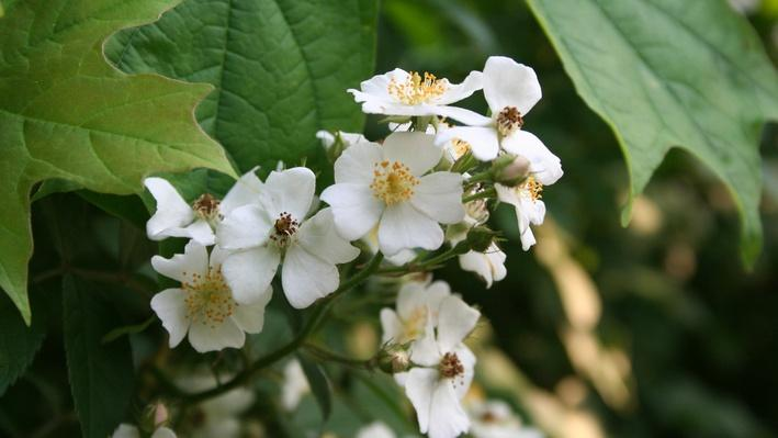small white multiflora rose blooms with furry yellow centers clustered at the end of a branch