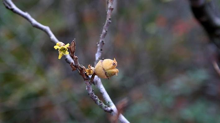 close up of witch hazel buds just as they begin to open to yellow blooms