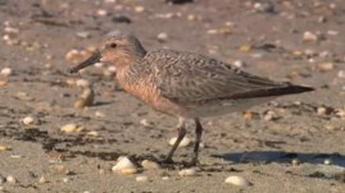 Nature | Crash: A Tale of Two Species - Horseshoe Crabs and Red Knots