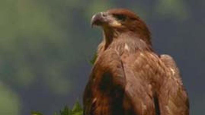 Nature | American Eagle: Fledglings