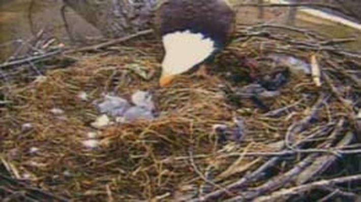 Nature | American Eagle: Hatching