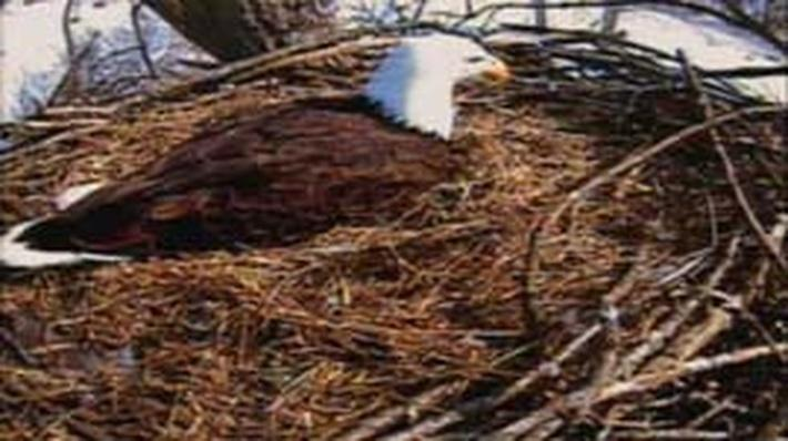 Nature | American Eagle: Challenges of Incubation