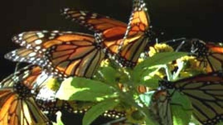 Nature | Earth Navigators: Monarch Migration