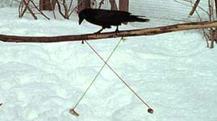 Nature | Ravens: Testing Intelligence