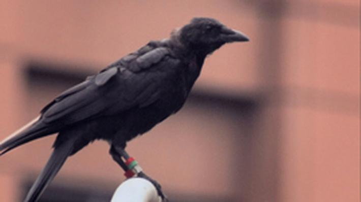 Nature | A Murder of Crows: As the Crow Flies