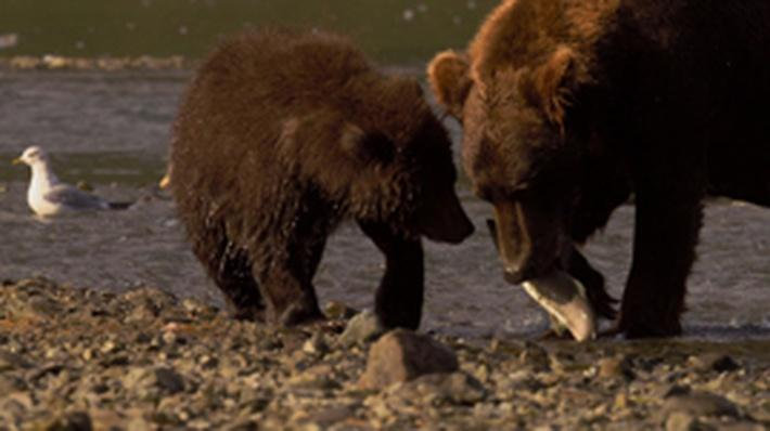 Nature | Bears of the Last Frontier: City of Bears - Feasting on the Salmon Run